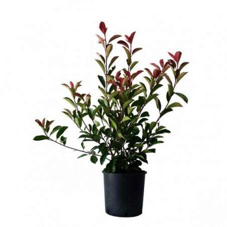 Photinia Red Robin (Pot de 10 L 80/100) - N°7