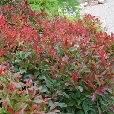 Photinia Red Robin (Pot de 15 L 100/125) - N°1