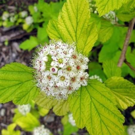 Physocarpe à feuilles d'obier doré Dart's Gold (Pot de 10 L 30/40) - N°1