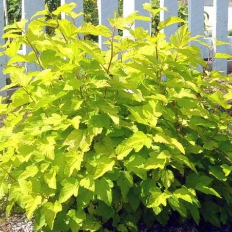 Physocarpe à feuilles d'obier doré Dart's Gold (Pot de 10 L 30/40) - N°2