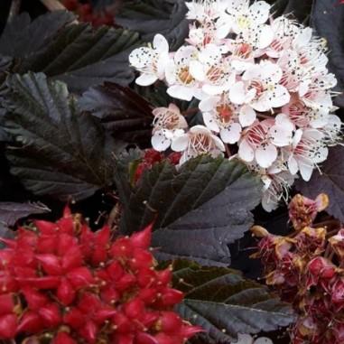 Physocarpe à feuilles d'obier pourpre Red Baron (Pot de 10 L 40/60) - N°1