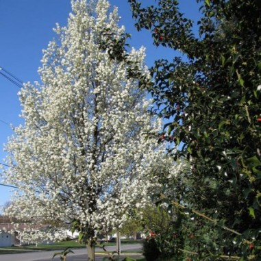 Poirier à fleurs Chanticleer (Pot de 10 L 1/2 Tige 6/8) - N°1