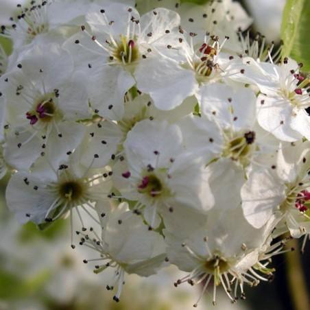 Poirier à fleurs Chanticleer (Pot de 10 L 1/2 Tige 6/8) - N°2