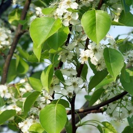Poirier à fleurs Chanticleer (Pot de 10 L 1/2 Tige 6/8) - N°3
