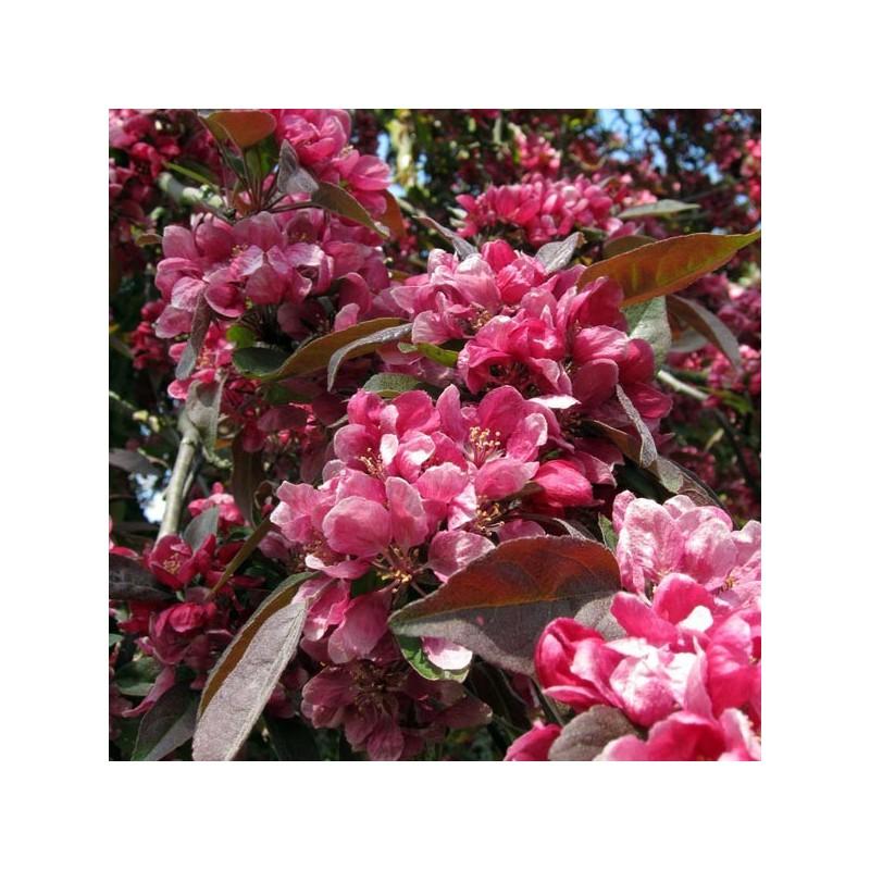 Acheter sapin dor d 39 espagne pas cher au meilleur prix for Sapin d ornement jardin
