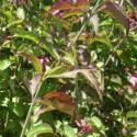 Aubépine rouge, fleurs