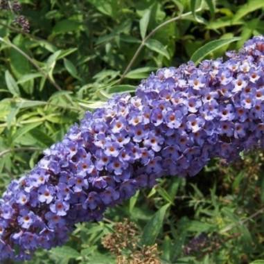 Arbre aux papillons Nanho Blue (Pot de 10 L 40/60) - N°1