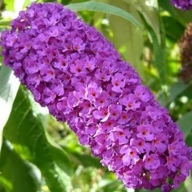Arbre aux papillons Nanho Purple (Pot de 10 L 40/60) - N°1