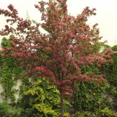 Aubépine rouge Paul's Scarlet (Pot de 15 L 1/2 Tige 6/8) - N°1