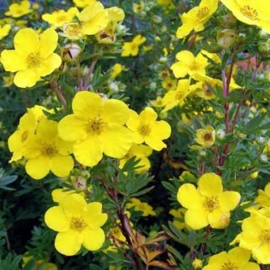 Potentille arbustive jaune Goldfinger (Pot de 10 L 40/60) - N°1