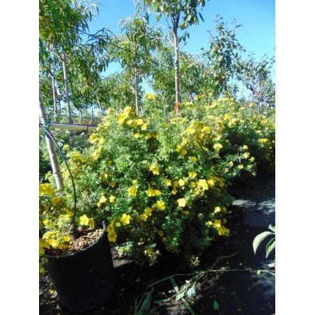 Potentille arbustive jaune Goldfinger (Pot de 10 L 40/60) - N°7