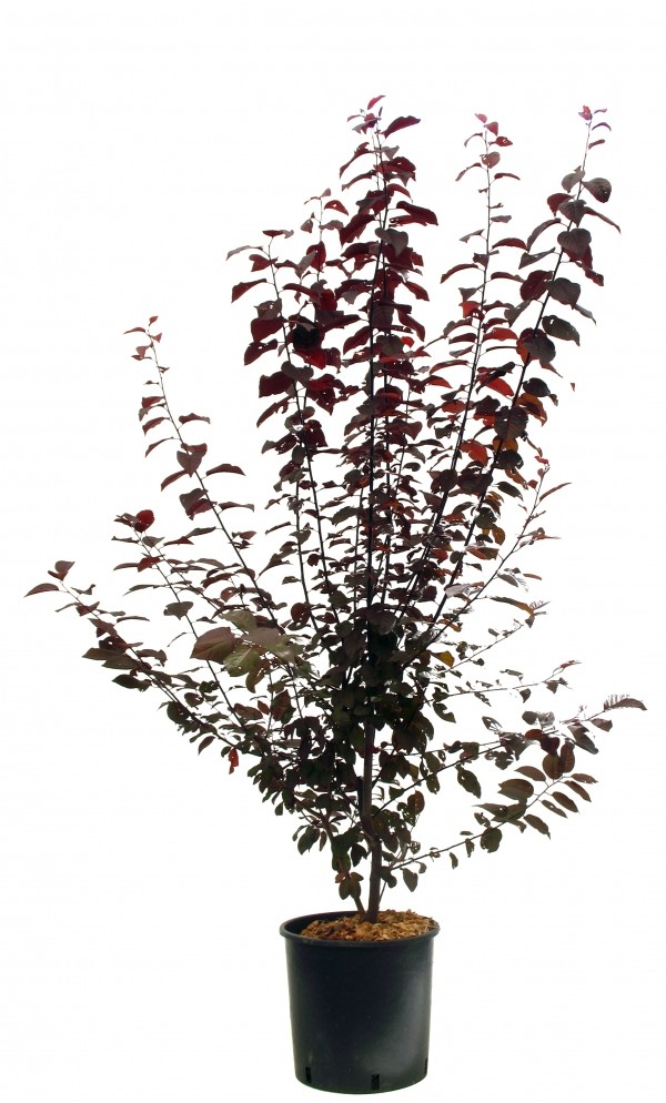 Cerisier picota achat vente arbres fruitiers - Calendrier taille arbres fruitiers ...