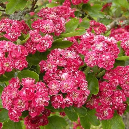 Aubépine rouge Paul's Scarlet (Pot de 15 L 1/2 Tige 6/8) - N°2