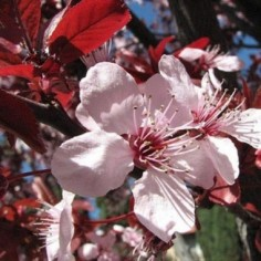 Cerisier Marmotte