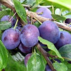 Cranberry vente d 39 arbustes fruitiers au meilleur prix for Vente plantes arbustes