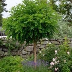 Vente framboisier rubus idaeus arbustes fruitiers au for Vente plante et arbuste
