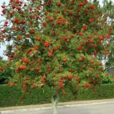 stipa tenuifolia caractéristique