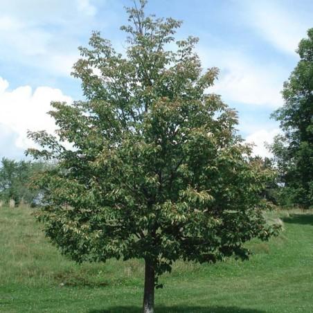 Tilleul à petites feuilles (Pot de 15 L 200/250) - N°1