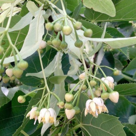 Tilleul à petites feuilles (Pot de 15 L 200/250) - N°2