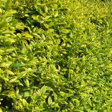 Troène de Californie doré (Pot de 10 L 60/80) - N°1