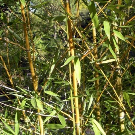 Bambou à bois doré (Pot de 10 L 125/150) - N°1