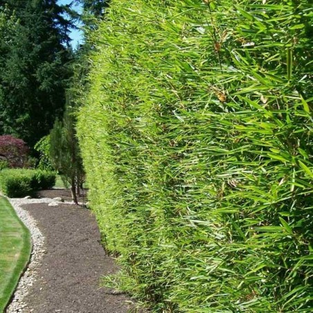 Bambou à bois doré (Pot de 10 L 125/150) - N°3