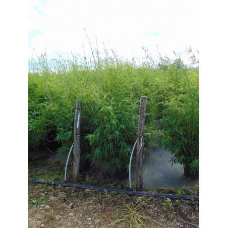 Bambou à bois doré (Pot de 10 L 125/150) - N°7