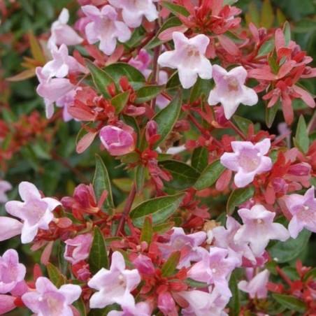 Abélie à grandes fleurs Edward Goucher (Pot de 10 L 20/30) - N°1
