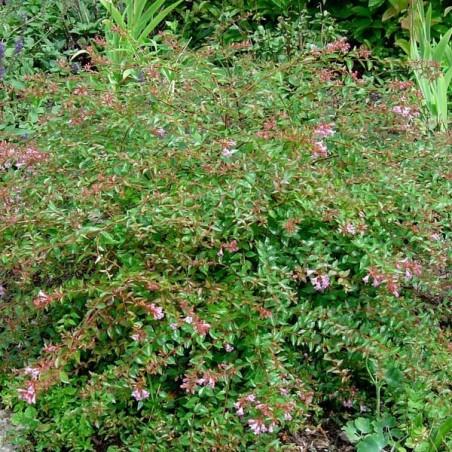 Abélie à grandes fleurs Edward Goucher (Pot de 10 L 20/30) - N°2