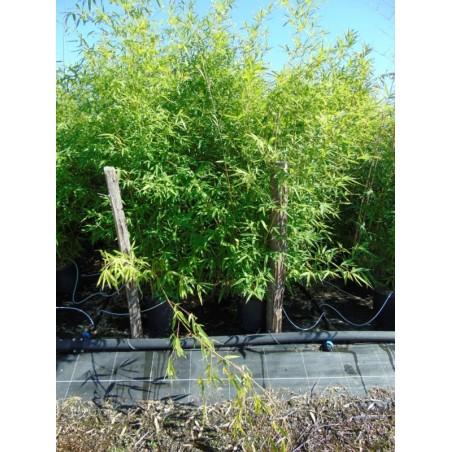 Bambou à bois doré (Pot de 15 L 200/250) - N°7