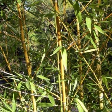 Bambou à bois doré (Pot de 5 L 125/150) - N°1