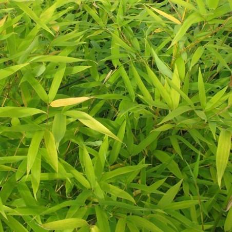 Bambou à bois doré (Pot de 5 L 80/100) - N°2