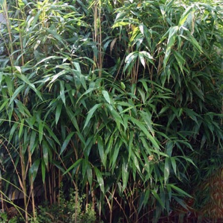 Bambou Metake (Pot de 10 L 30/40) - N°1