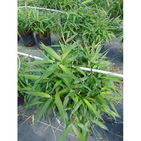 Bambou Metake (Pot de 10 L 30/40) - N°7